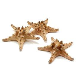 Zeester Philippine 10-15 cm naturel