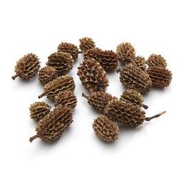 Pinecones Casuarina