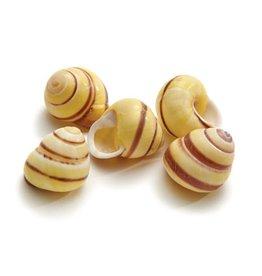 Land snail Annulata