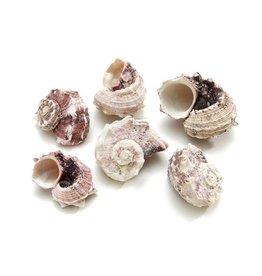 Delphinula shell