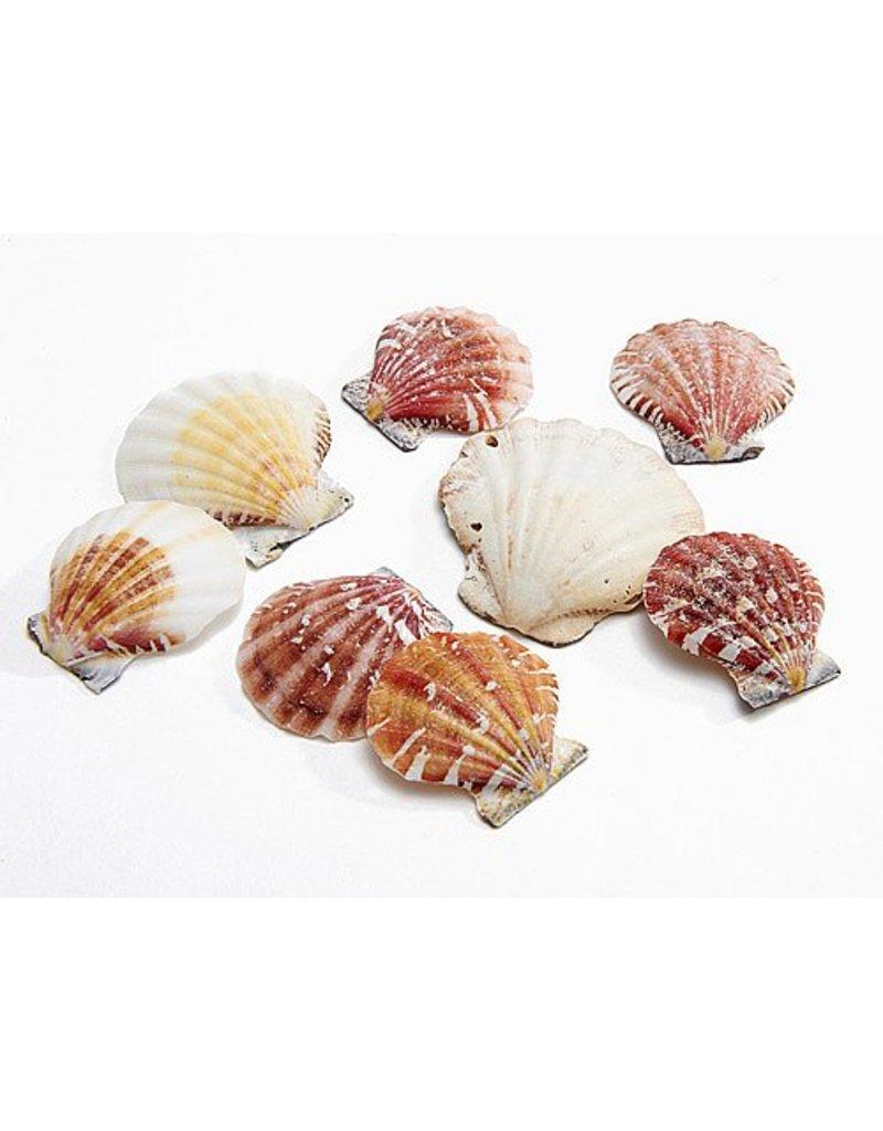 Shell Pecten Vexillum