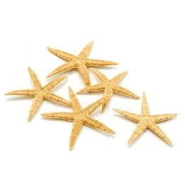 Zeester sugar 8 -10 cm
