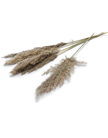 Pampas gras naturel