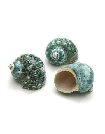 Burgos shell banded