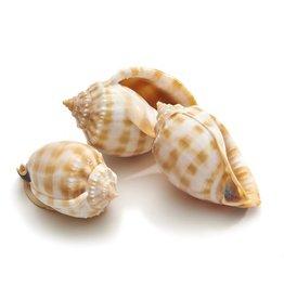 Shell Cassis Bandatum