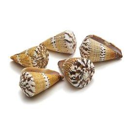 Cone Capitaneus shell