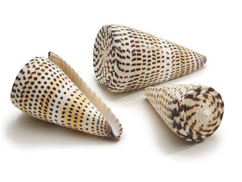Schelp Conus Litteratus