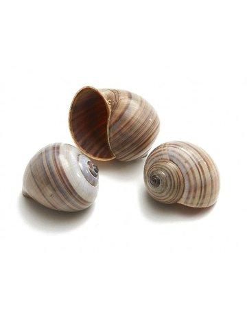 Pila Amullacea shell