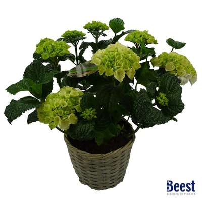 Hortensia wit in mand