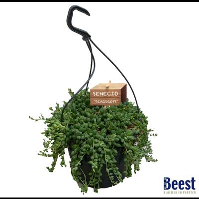 Senecio erwtenplant