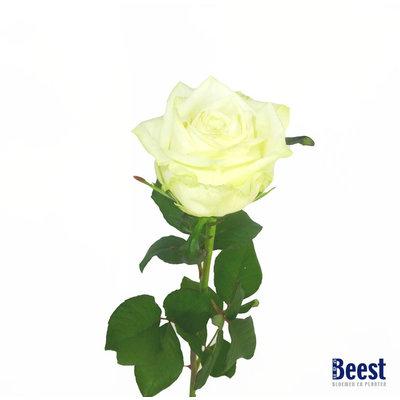 Witte roos grootbloemig per stuk