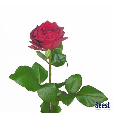 Rode roos grootbloemig per stuk