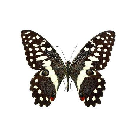 KEK Amsterdam Wall Sticker Butterfly Butterfly 958 brown white 16x13cm