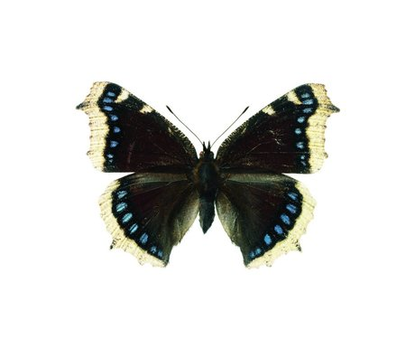 KEK Amsterdam Wall Sticker Butterfly Butterfly 957 white brown blue 17x11cm