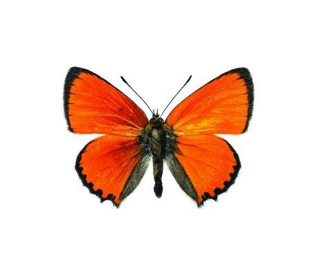 KEK Amsterdam Wall Sticker Butterfly Butterfly 955 orange-brown 17x12cm