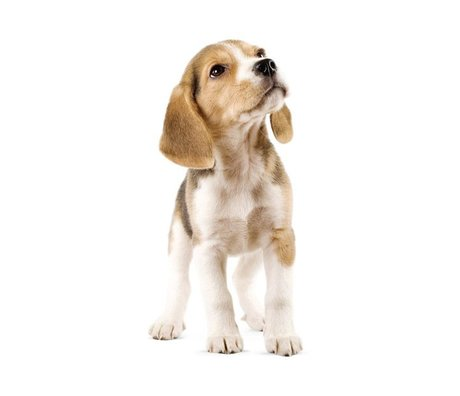 KEK Amsterdam Muursticker Beagle puppy 14x30cm