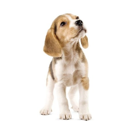 KEK Amsterdam Wall Sticker Beagle puppy 14x30cm