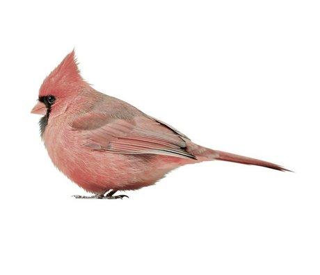 KEK Amsterdam Muursticker Cardinal, roze, 17x9cm, Vogel collectie