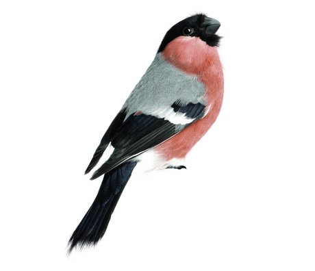 KEK Amsterdam Wall Sticker Bullfinch 10x15cm, Bird Collection