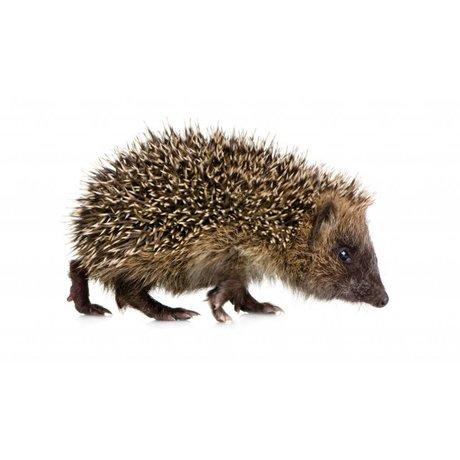 KEK Amsterdam Muursticker egel forestfriend hedgehog