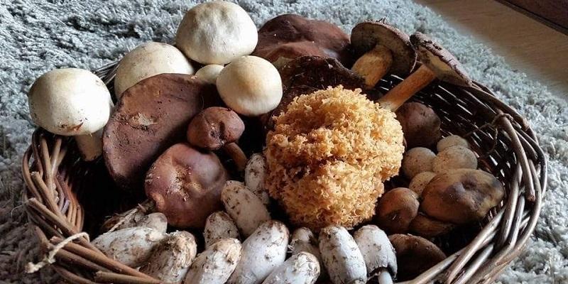 Een grote vangst wilde paddenstoelen, 2015 – Lembeekse bossen, België