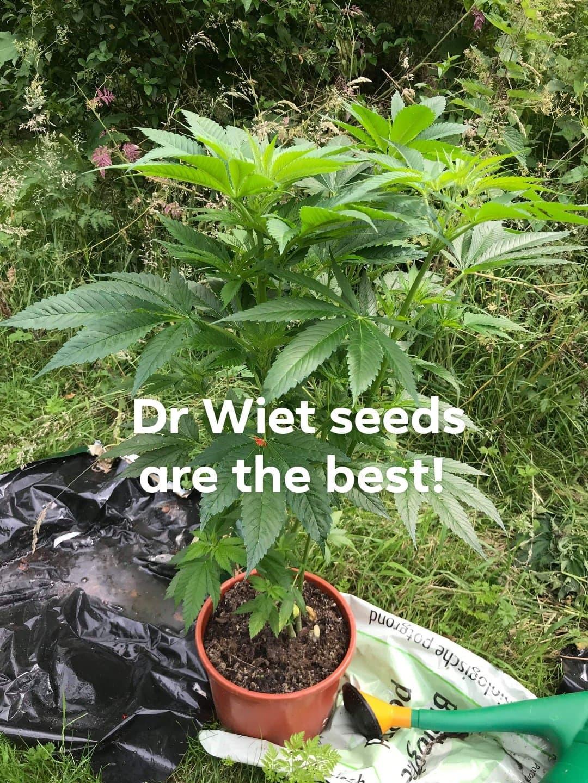 Dr.Wietzaden (10 stuks)