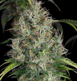 T.H.Seeds T.H.Seeds S.A.G.E.-CBD (2st) ♀