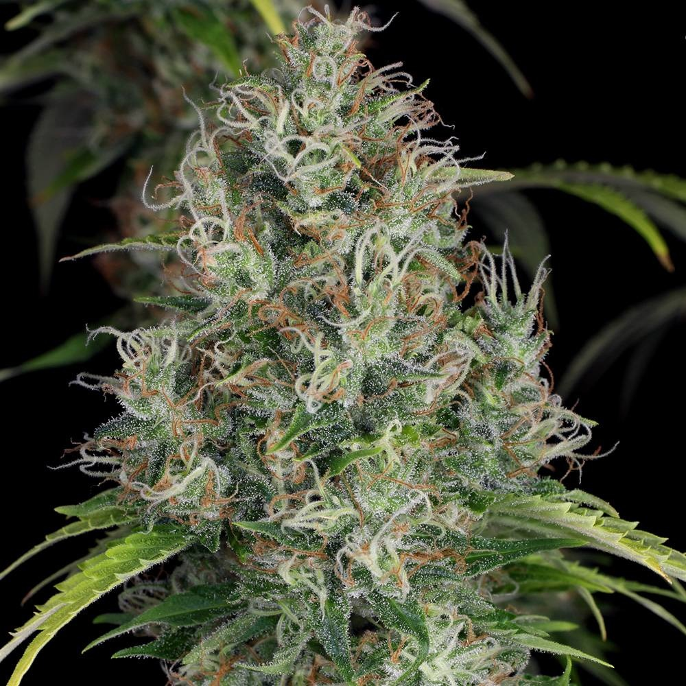 T.H.Seeds T.H.Seeds S.A.G.E.-CBD  ♀ (2 zaden)