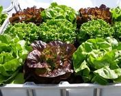 IBC mit Gemüse