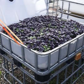 HESS DESIGN IBC Frühbeet natur mit Gourmet-Basilikum 250 l - 93 Höhe auf Stahl mit Podest