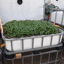 HESS DESIGN IBC Frühbeet WEISS mit grünem Basilikum 250 l - 89 Höhe auf Stahl mit Podest