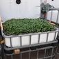 HESS DESIGN IBC Frühbeet-Kasten w/n mit grünem Basilikum 250 Liter transparent auf verzinkter Stahl-PE-Palette 51 cm erhöht #5HB-MPE250&51-grüner-Basilikum-REGEN-USER