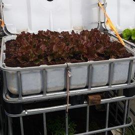 HESS DESIGN IBC Hochbeet natur mit Kopf-Salat rot 250 l - 93 Höhe auf Stahl mit Podest