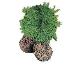 Bonsaiplant