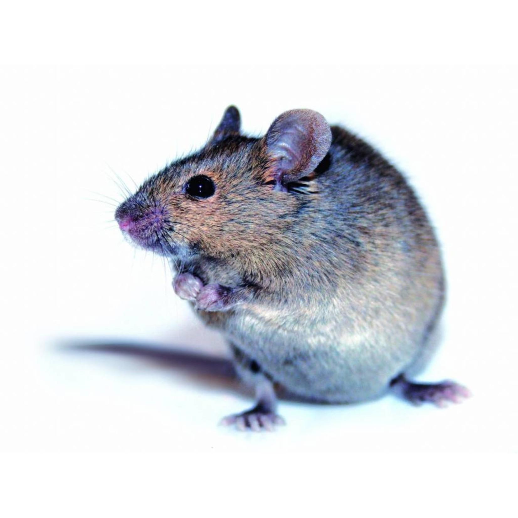 BSi levend vangende Muizen Kantelval