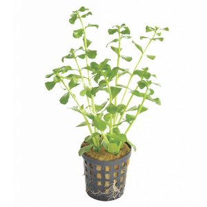 Waterplant Bacopa Monerii