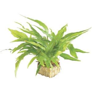 Waterplant Microsorium Pteropus - Extra Groot