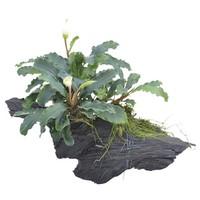 Waterplant Wood Bucephalandra Green Velvet