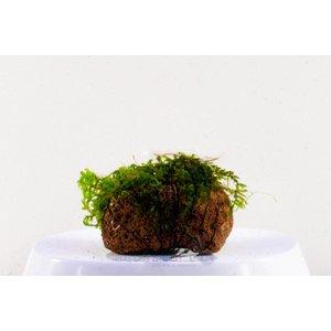 Waterplant Versicularia Dubyana op lavasteen