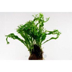 Waterplant Microsorium Pteropus Windelow op lavasteen
