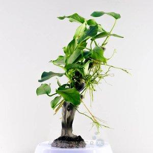 Waterplant Anubia Nana op kunstofboom