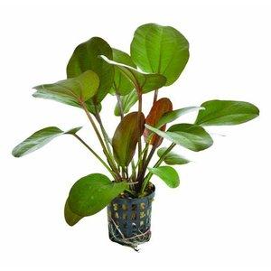 Waterplant Echinodorus Rubra