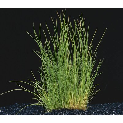 Waterplant Eleocharis Acicularis (Naaldgras)