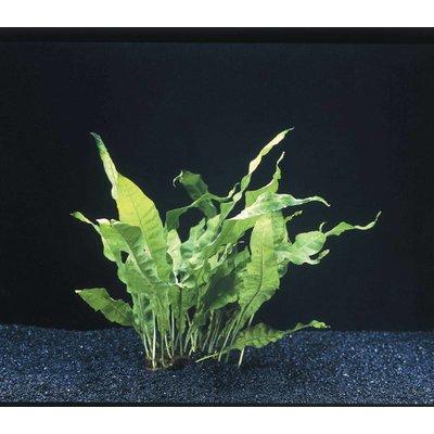 Waterplant Microsorium Pteropus