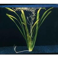 Waterplant Vallisneria Gigantea