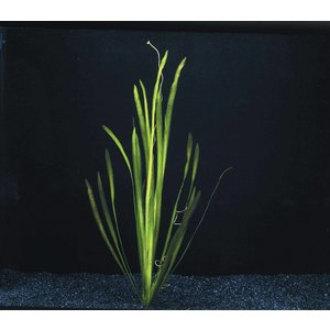 Waterplant Vallisneria Spiralis bos