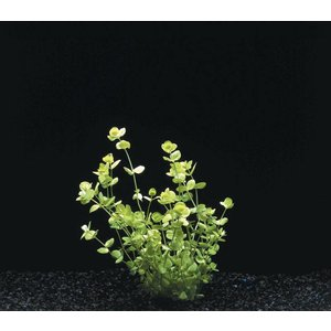 Waterplant Micranthemum Umbrosum op mat