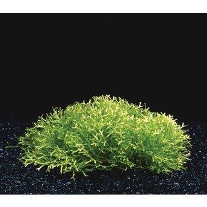 Waterplant Riccia Fluitans midi op hout