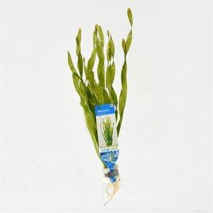 Waterplant Vallisneria asiatica