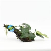 Waterplant Anubias (Driftwood) small